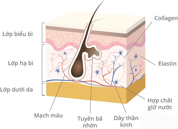 Collagen đối với mạch máu